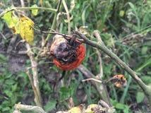 在庭院的腐烂的蕃茄 免版税库存照片