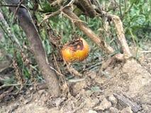 在庭院的腐烂的蕃茄 库存图片