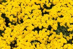在庭院的花卉背景花黄色菊花供住宿 免版税库存图片