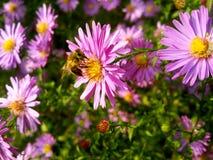 在庭院的蜂淡紫色花的 库存照片