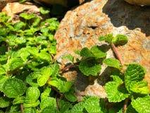 在庭院的青椒薄荷叶有自然阳光的 免版税库存图片