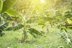 在庭院的香蕉树 库存照片