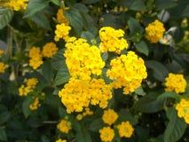 在庭院的黄色马樱丹属camara花 免版税库存照片