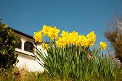 在庭院的黄色黄水仙在早期的春天 免版税库存图片