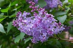 在庭院的紫色丁香 库存图片