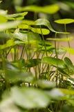 在庭院的Gotu可拉树 库存照片