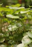 在庭院的Gotu可拉树 库存图片