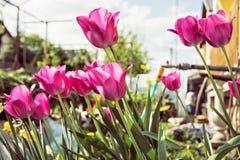 在庭院种植的开花的桃红色郁金香,季节性自然场面里 免版税图库摄影