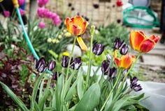在庭院种植的开花的郁金香,季节性自然场面里 免版税库存图片