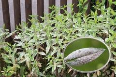 在庭院篱芭前面的发霉的福禄考植物 库存照片