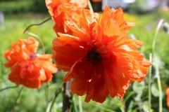 在庭院红色鸦片绽放 库存照片