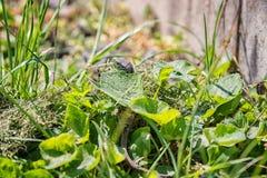 在庭院绿草的蜥蜴,自然伪装,野生自然动物 免版税图库摄影