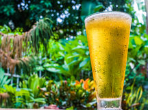 在庭院背景的啤酒草 库存照片