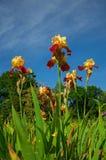 在庭院背景的红色和黄色虹膜 库存图片