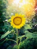 在庭院自然背景的美丽的向日葵 库存照片