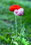 在庭院花的Coquelicot夫妇 免版税库存照片