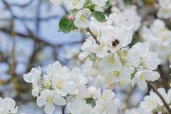 在庭院苹果树的白花和芽的附近土蜂飞行 免版税库存照片