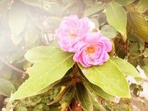 在庭院葡萄酒口气的桃红色玫瑰 库存照片