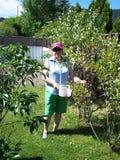 在庭院采摘欧洲酸樱桃 免版税库存照片