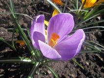 在庭院里下雪第一朵春天花是番红花 库存图片