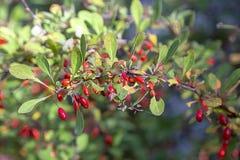 在庭院里丛生明亮的红色伏牛花 装饰伏牛花果子和叶子  库存图片