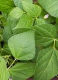 在庭院里书写荚,黄荚种菜豆 免版税图库摄影
