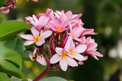 在庭院里在盛开芬芳的羽毛花种植的 库存图片