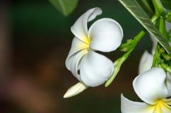 在庭院里在盛开芬芳的羽毛花种植的 图库摄影