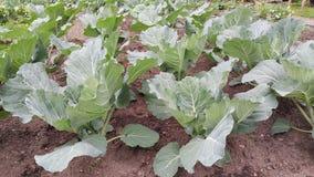 在庭院里增长的圆白菜 库存图片
