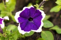 在庭院里开了花与一个白色边缘的黑暗的紫色花在精美叶子 图库摄影