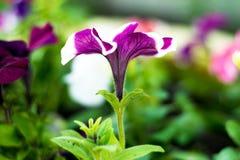 在庭院里开了花与一个白色边缘的黑暗的紫色花在精美叶子 库存照片