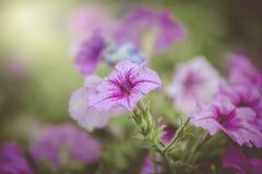 在庭院里开花与一个地方的喇叭花紫色条纹 图库摄影