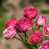 在庭院里开花玫瑰。 免版税库存照片