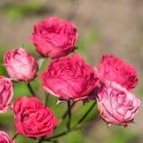在庭院里开花玫瑰。 库存图片