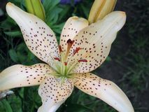 在庭院里开花美丽的白色和嫩百合 免版税库存图片