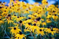 在庭院里开花黄金菊fulgida或Goldsturm橙色coneflower在盛开 免版税库存照片