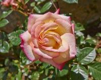 在庭院里弄湿玫瑰色 库存照片