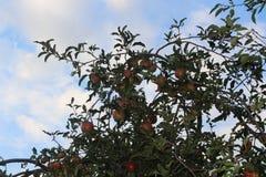 在庭院里成熟的红色苹果 免版税库存照片