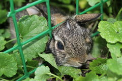 在庭院里捉住的婴孩兔宝宝 免版税库存图片