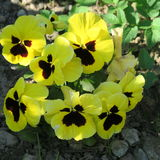 在庭院里染黄,开花春天的紫罗兰类蝴蝶花 图库摄影