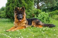 在庭院里的幼小德国牧羊犬狗 库存图片