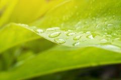 在庭院里种植的高良姜的叶子在雨期间 库存图片