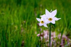 在庭院里隔绝的黄水仙在春天 免版税库存图片