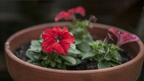 在庭院里,春天在伦敦-在罐的红色花 图库摄影