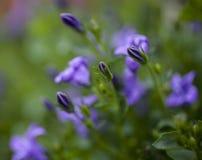 在庭院里,春天在英国-小蓝色花 库存照片