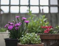 在庭院里,春天在英国-盆的植物 免版税库存照片