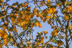 在庭院里,黄色花灌木反对蓝天的 免版税图库摄影