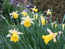 黄水仙在庭院里 免版税库存图片