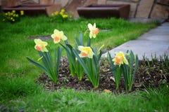 水仙在庭院里 黄水仙 图库摄影