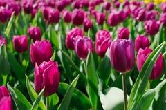 在庭院香港的紫色郁金香 免版税库存照片